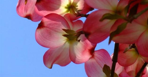 Шипшина— красива і корисна дика троянда