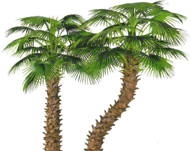 Червоне пальмове масло: властивості