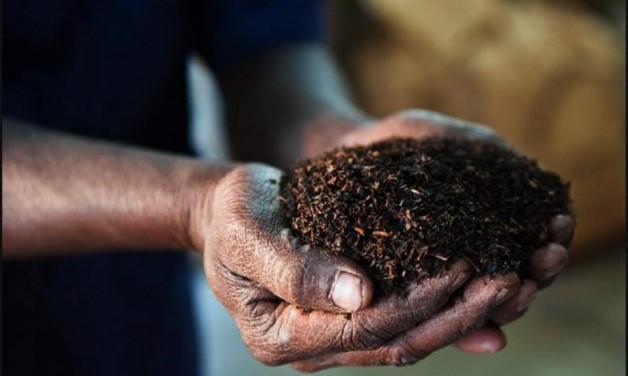 Вся правда про якість і користь індійського чаю