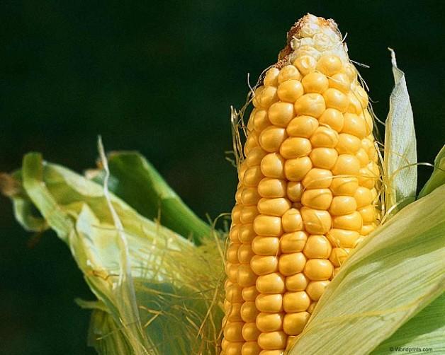 Корисні властивості кукурудзи: як повернути шкірі молодість, а організму здоров'я